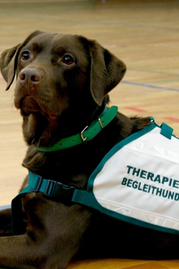 Labrador-Dame Luna ist ausgebildete Therapie-Begleithündin.