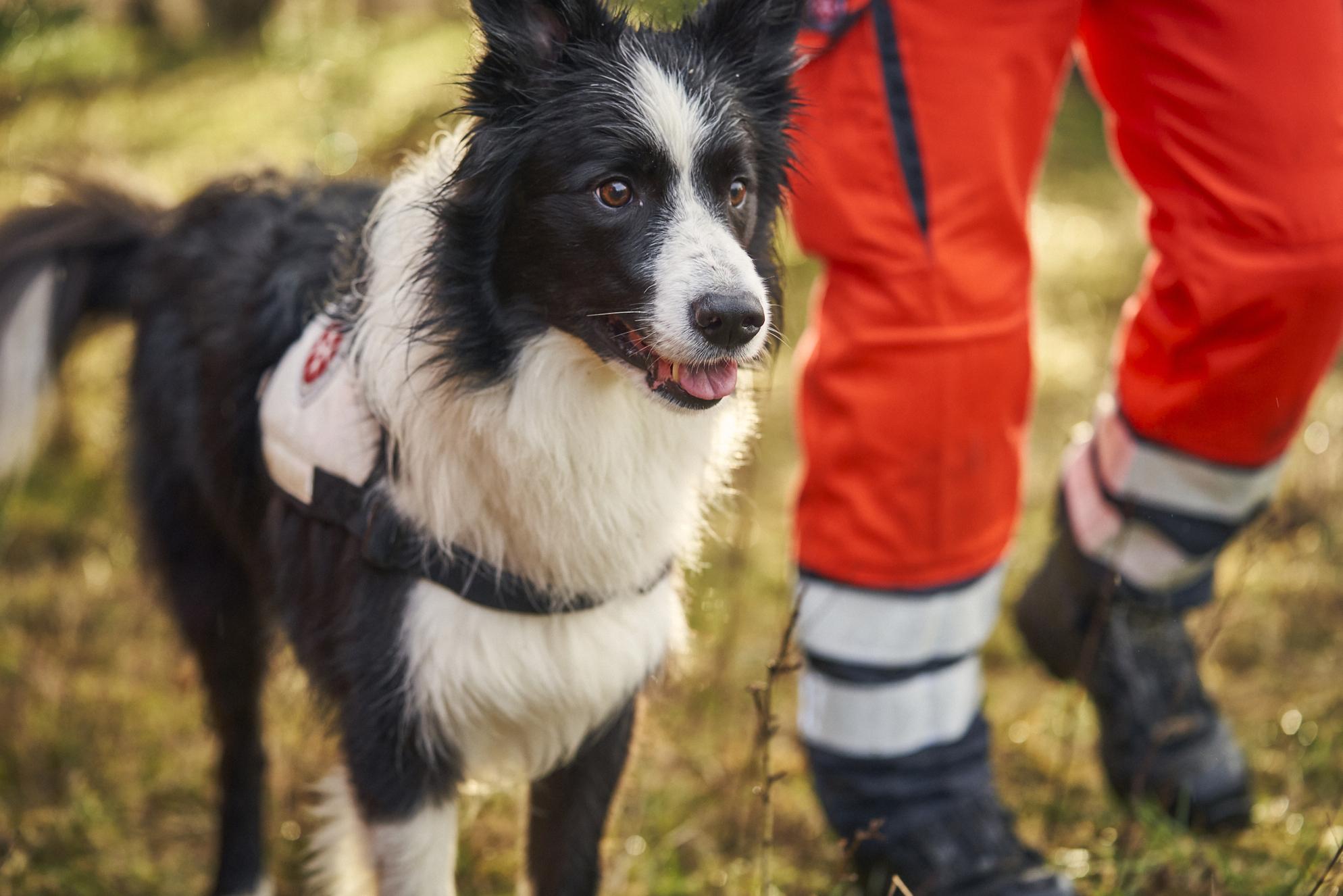 Rettungshund der Rettungshundestaffel läuft neben seinem Hundeführer