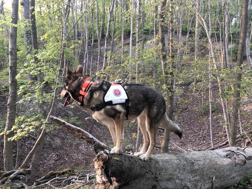 Braun/weißer Rettungshund mit Johanniter-Kenndecke schaut von einer Anhöhe herunter..