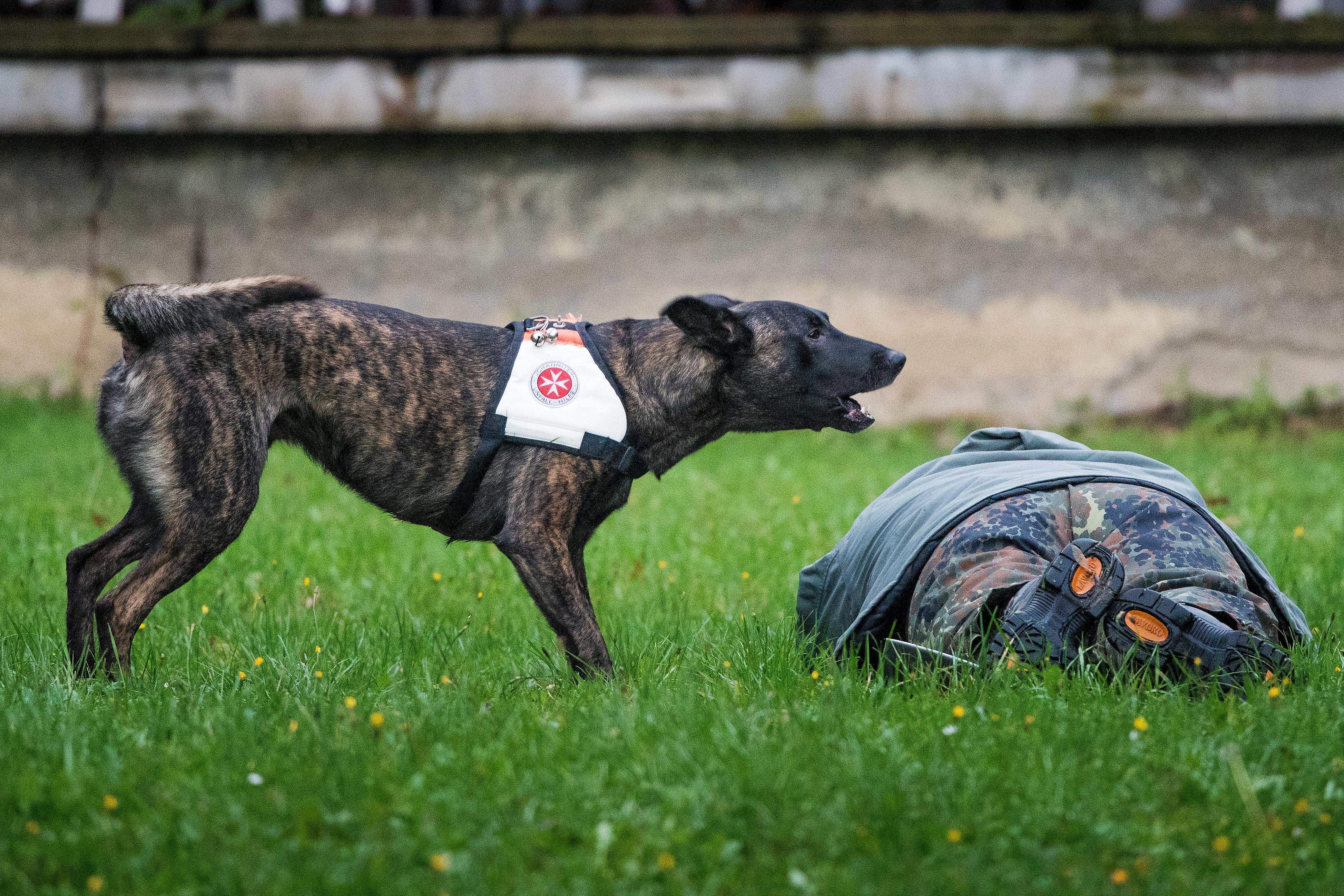 Auf einer Wiese liegt eine Person. Neben ihn bellt ein Rettungshund.