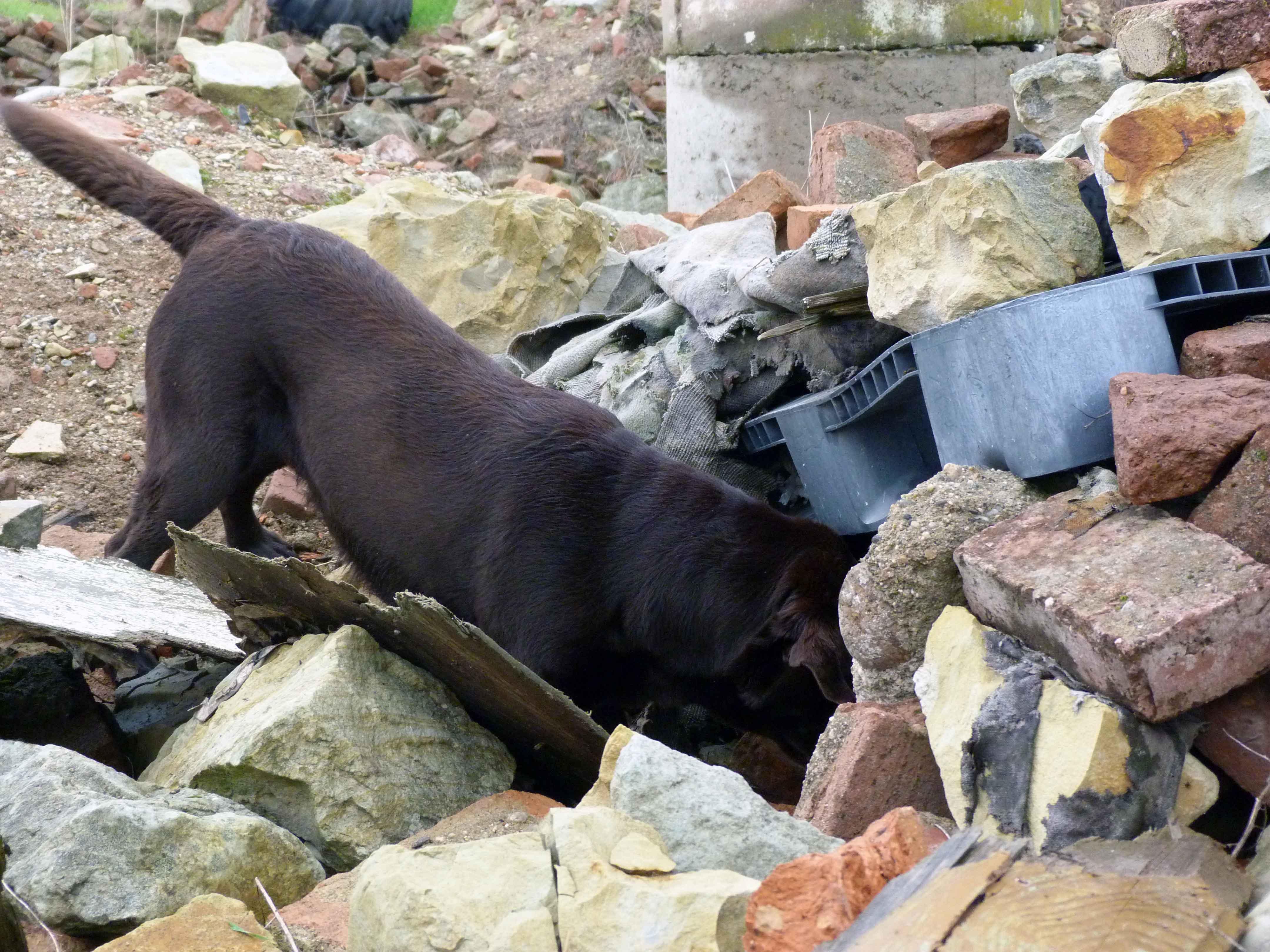 Ein Rettungshund durchsucht einen Trümmerhaufen aus Steinen.