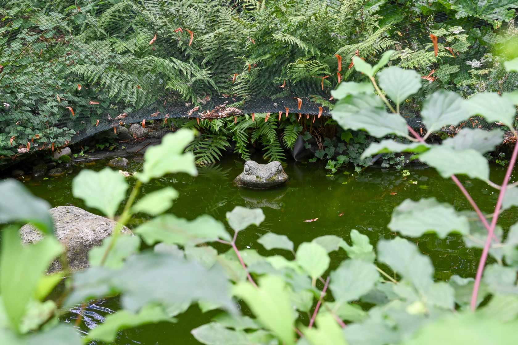 Frosch späht aus dem naturangelegten Teich am Johanniterhaus Bonn.