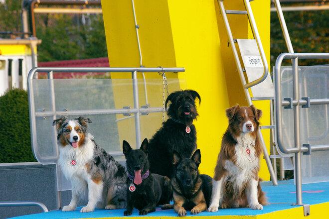 Fünf Hunde auf einem gelb anstrichenen Sprungturm in Schwimmmbad