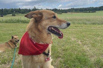 Ein Hund, der ein rotes Halstuch trägt.
