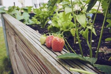 Frische Erdbeeren im Beet
