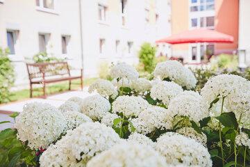 Blick über wunderschöne weiße Hortensien auf eine Bank im Garten