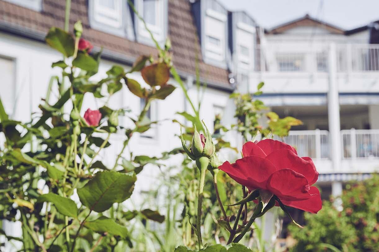 Rose im Garten des Johanniter-Hauses Weschnitztal in Rimbach