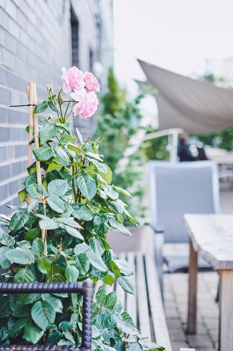 Eine rosafarbene Rose wächst an der Wand entlang