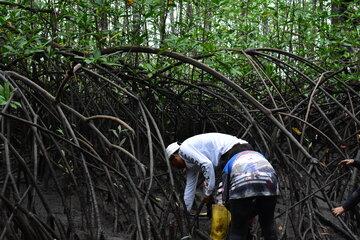 Zwei Frauen suchen Muscheln im Schlamm zwischen Mangrovenwurzeln