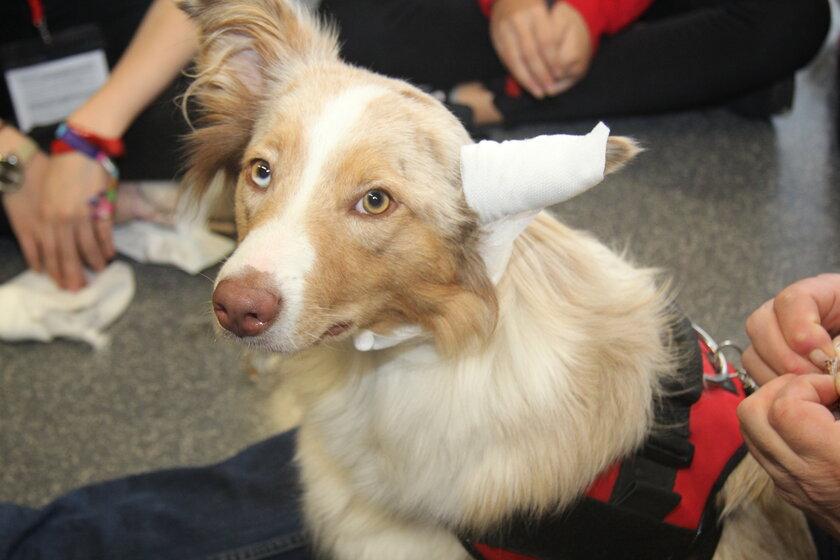 Erste Hilfe am Hund: hier Ohrverband anlegen