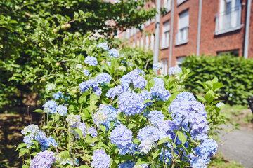Lila blühende Hortensie im Garten des Johanniter-Stiftes in Wuppertal