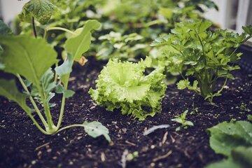 Verschiedene Salate wachsen in einem Beet