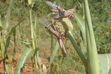 Zwei Heuschrecken auf einer Pflanze