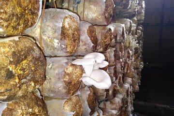 Säcke voller Pilze