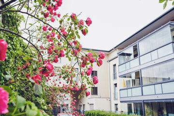 Rosenbusch vor dem Haus am Rosarium in Uetersen.